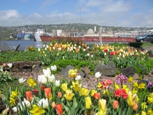 Tulips in Summer - South Pier Inn