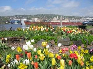 Tulips in Summer - South Pier Inn