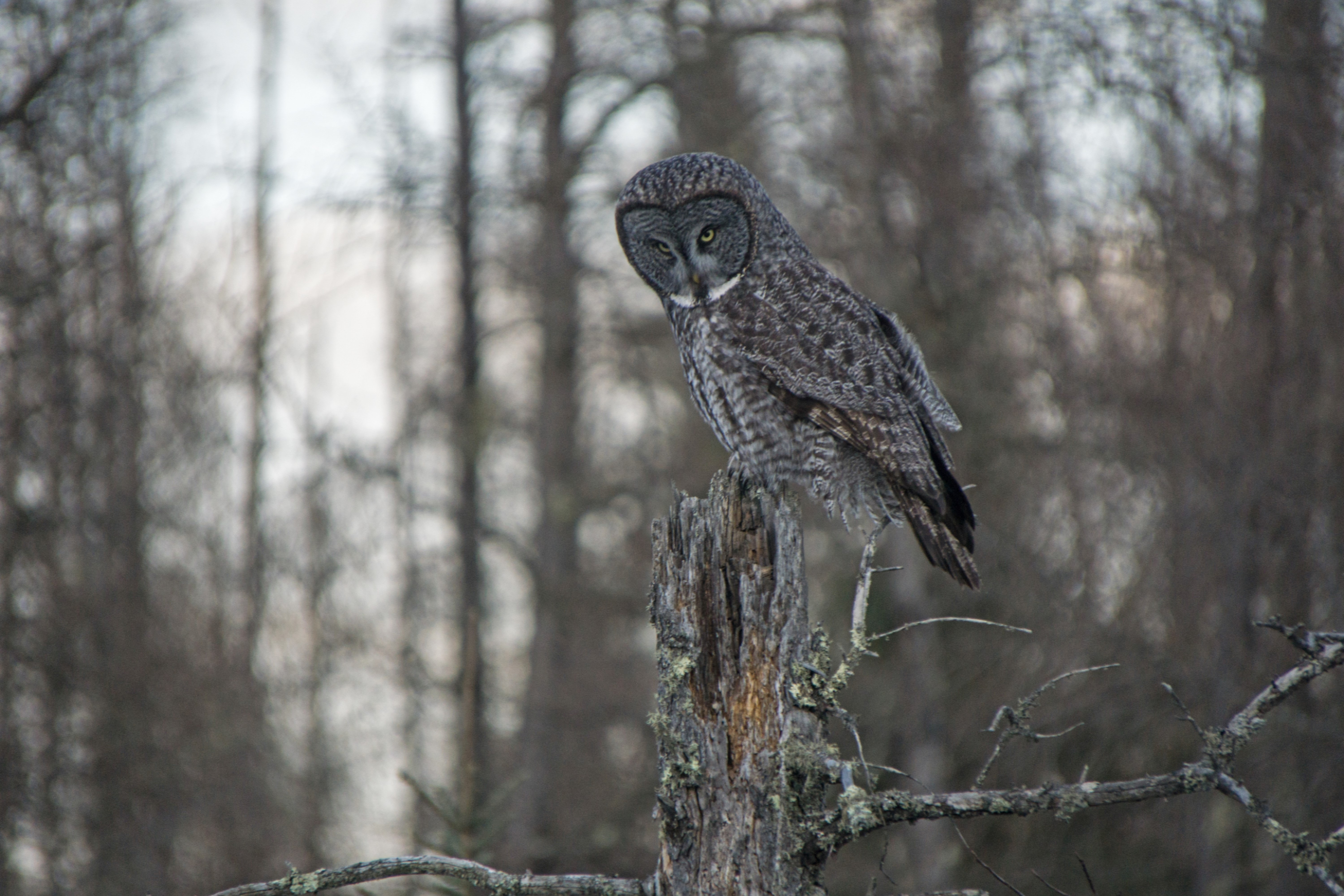 South Pier Inn Sax Zim Bog Great Gray Owl